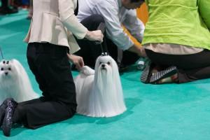 สุนัขมอลทีส